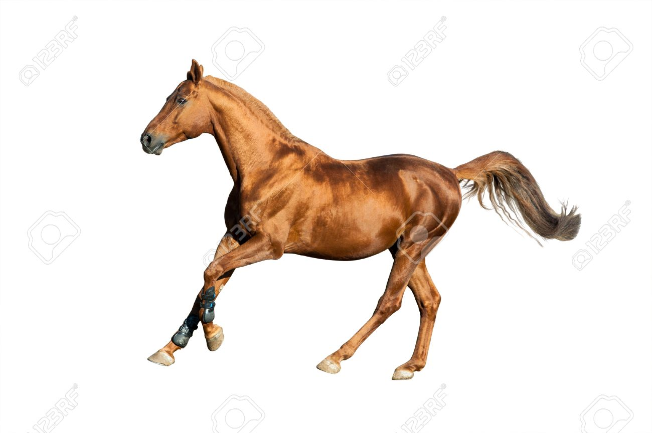 Golden Chestnut Horse Isolated Over A White Background Stock Photo Picture And Royalty Free Image Image 47014210