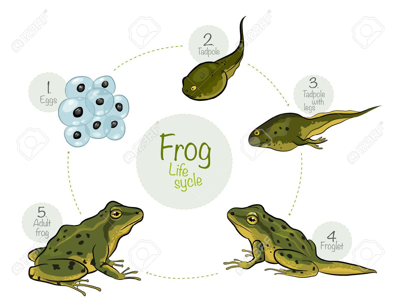 vector illustration life cycle of a frog royalty free cliparts rh 123rf com Black and White Frog Vector Tree Frog Vector