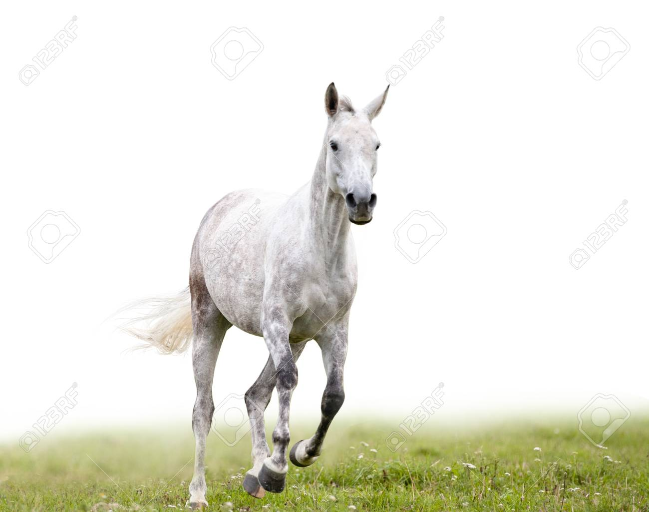 gray dapple horse runs in field isolated with white background