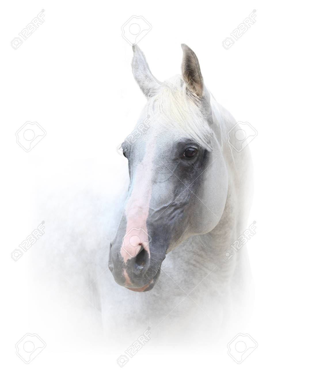 Beautiful White Horse Portrait On White Stock Photo Picture And Royalty Free Image Image 101010911