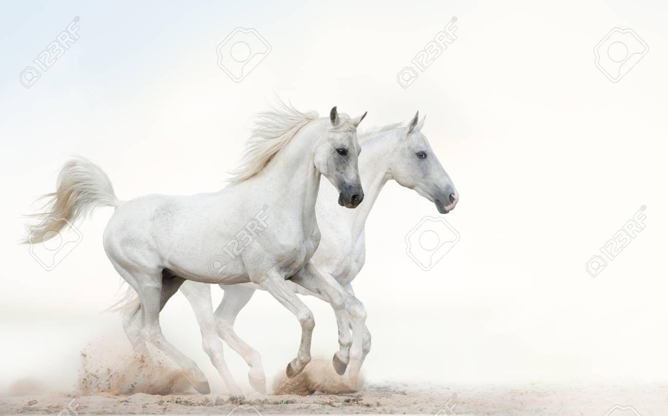 Two Beautiful Snowy White Horses Running Together On Light