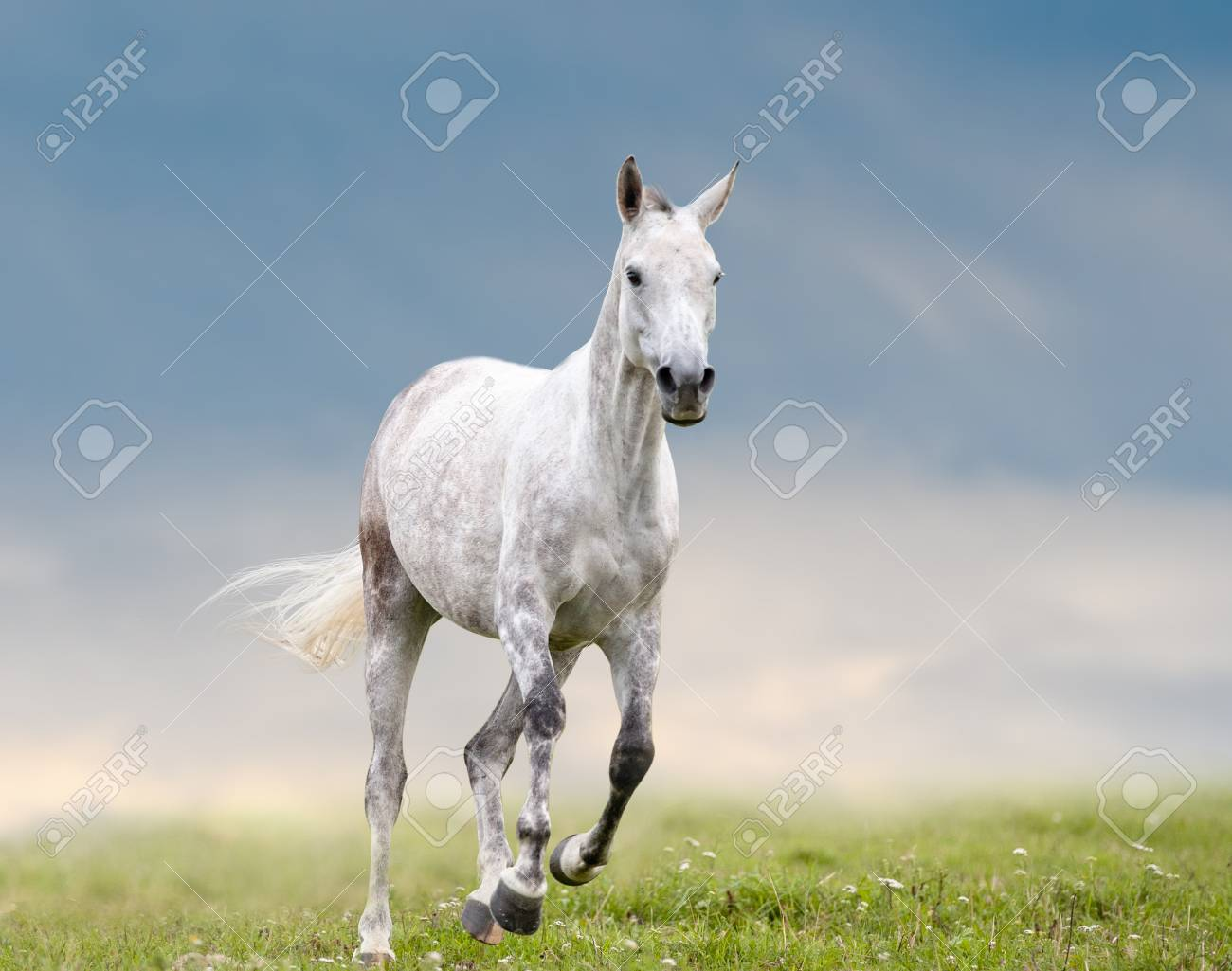 gray dapple horse runs in field with cloudy sky on a background