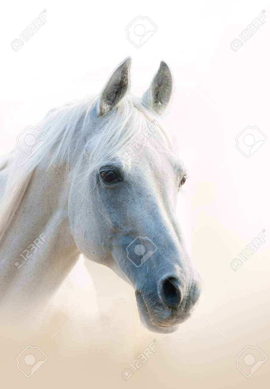 White Arabian Horse Portrait Vertical Stock Photo Picture And Royalty Free Image Image 105086011