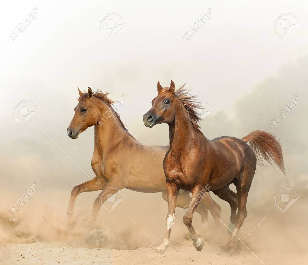 Two Chestnut Horses Running On A Wild In Desert Stock Photo Picture And Royalty Free Image Image 118784811