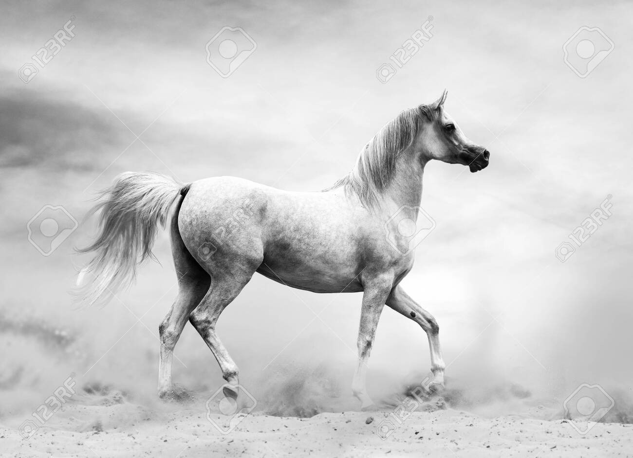 Arabian Horse In The Desert Black And White Shot Stock Photo Picture And Royalty Free Image Image 128592064