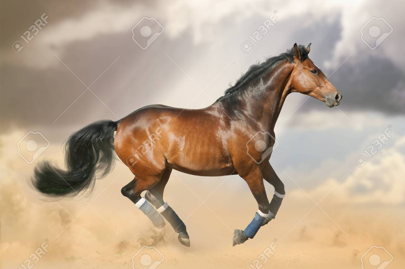Beautiful Bay Horse Running Gallop On The Wild In The Dust Sportive Stock Photo Picture And Royalty Free Image Image 150872843
