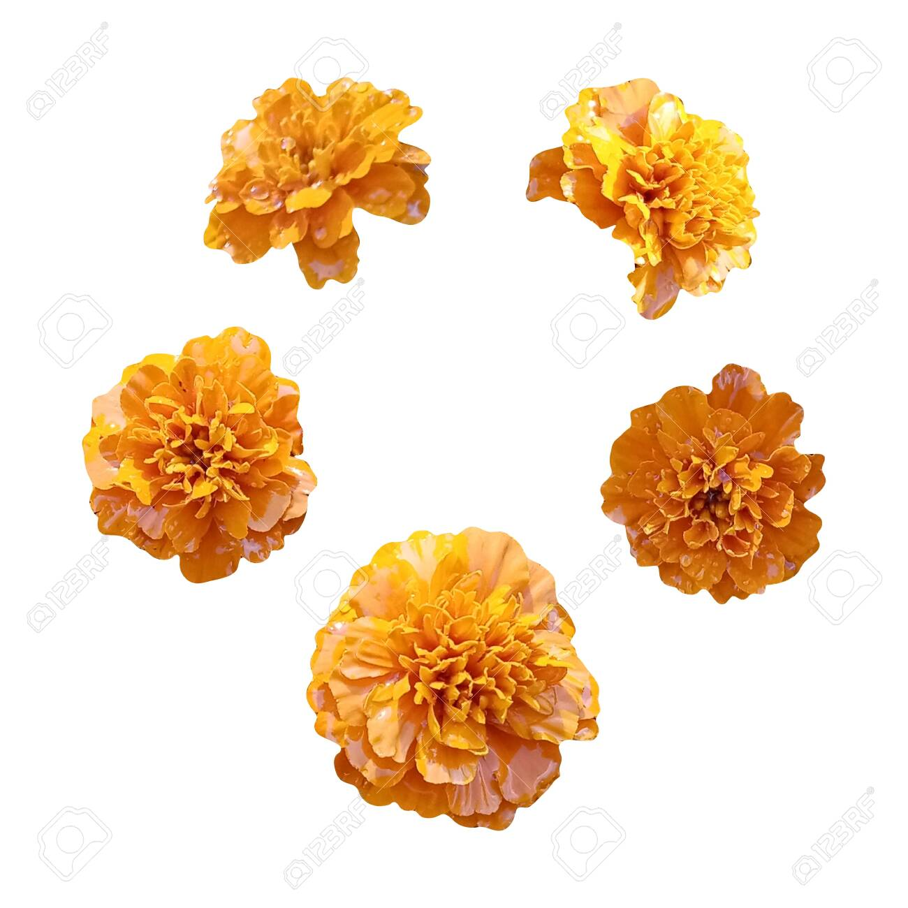 Marigold orange flowers isolated on white background. Image for your decor and design. The day of the Dead. Mexico. - 135528382