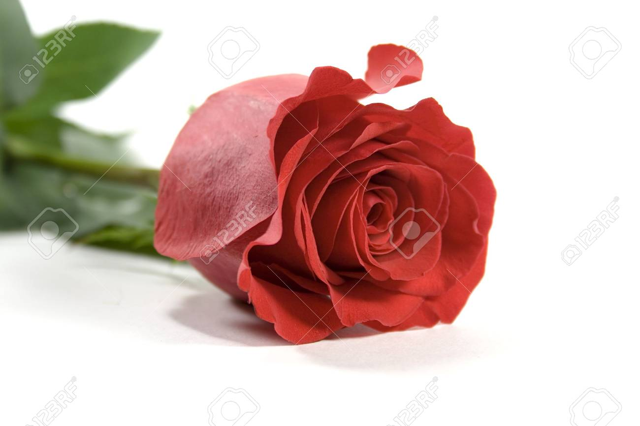 red rose over white backround Stock Photo - 2426215