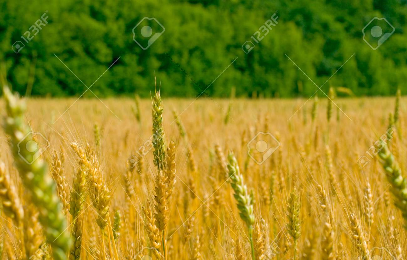 field of wheat on a background of the forest Stock Photo - 4325867