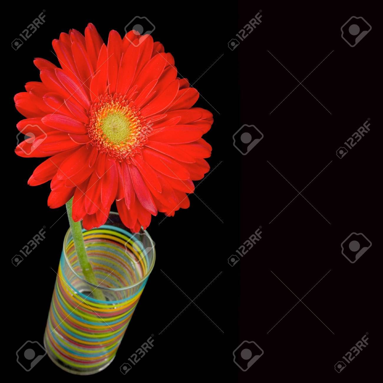 Immagini Stock Gerbera Closeup Fiore Rosso Su Sfondo Nero Image