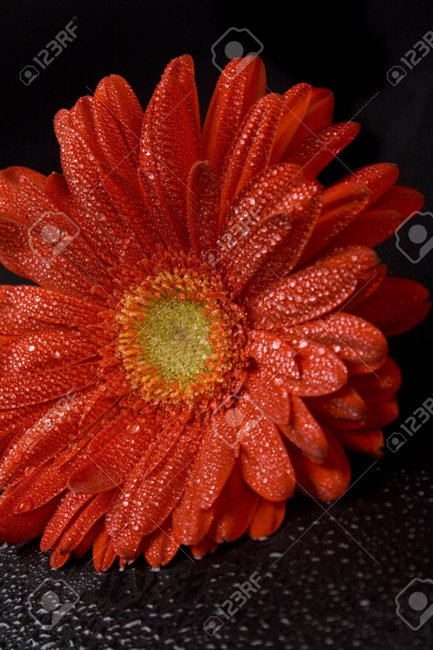 red gerbera flower with water drops closeup Stock Photo - 4502927
