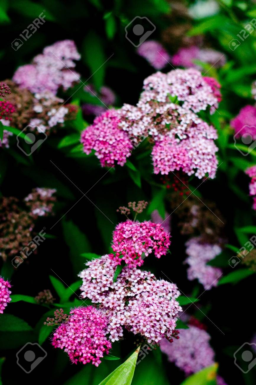 field of pink flowers closeup Stock Photo - 7272369