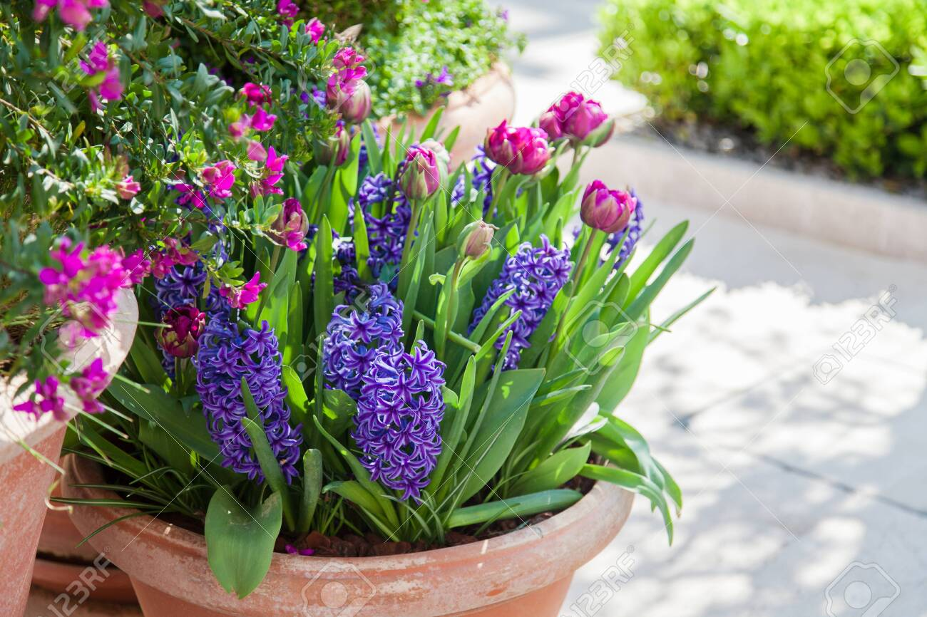 Tulips and hyacinth in flower pots outdoor. Spring gardening on town streets. Spring scenes, Purple, pink and lilac blooming flora and green grass. - 130925220
