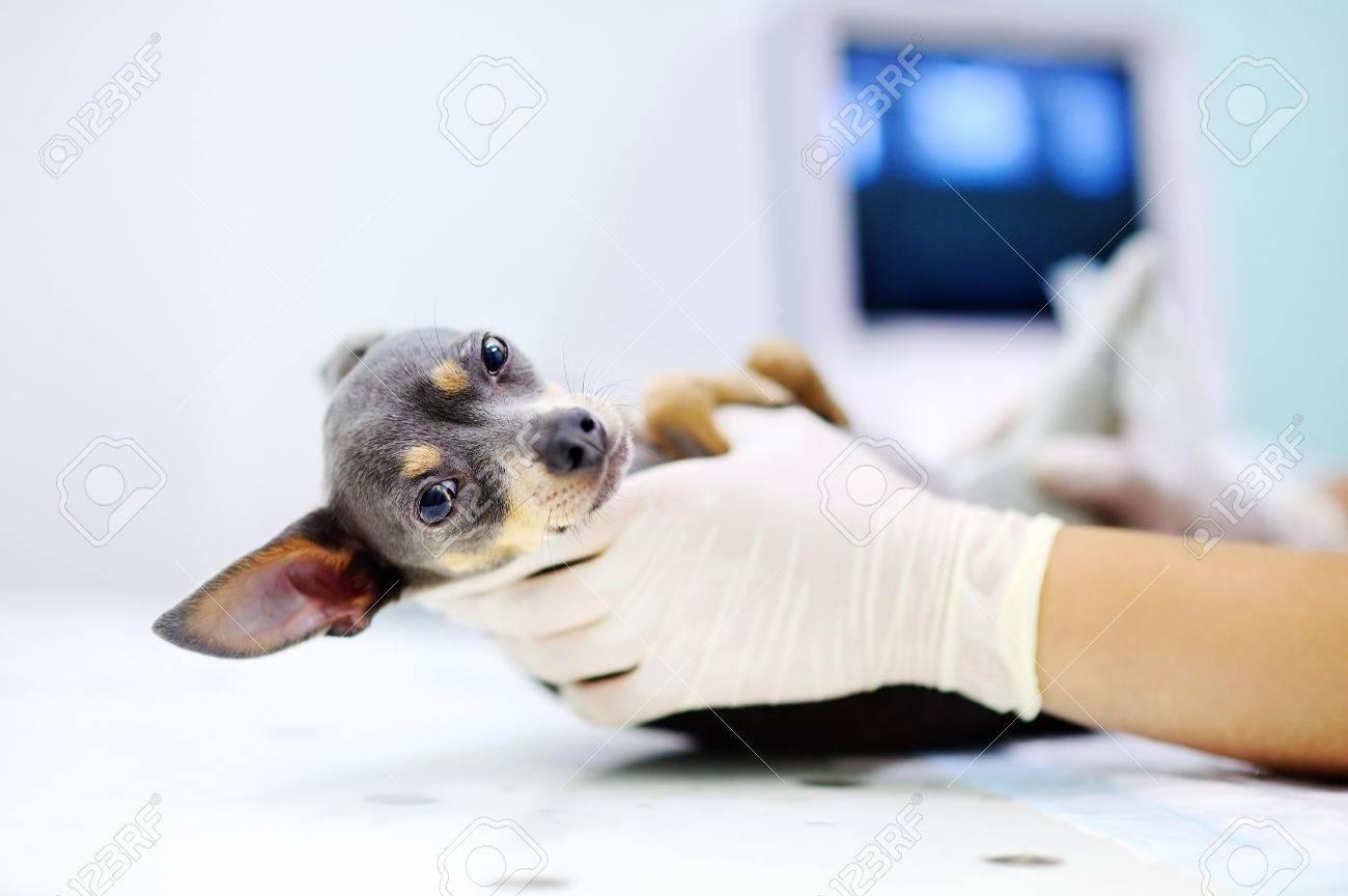 Dog having ultrasound scan in vet office. Little dog terrier in veterinary clinic - 68324255