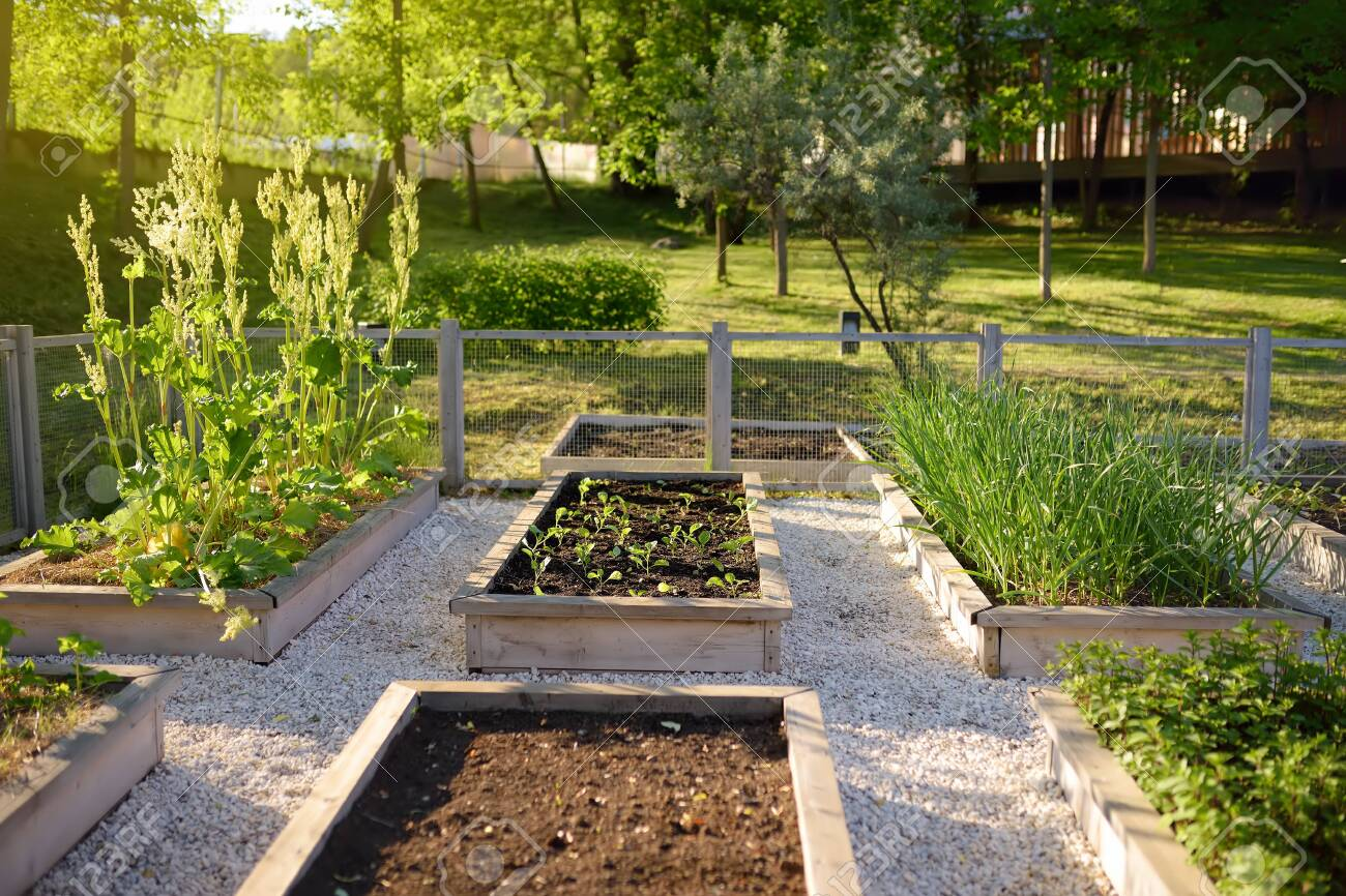 Community Kitchen Garden Raised Garden Beds With Plants In Vegetable Stock Photo Picture And Royalty Free Image Image 124979258