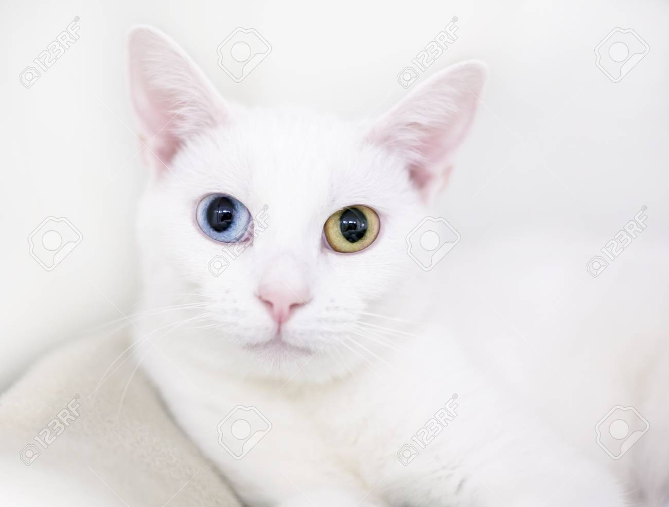 Portrait Of A White Cat With Heterochromia One Blue Eye And Stock Photo Picture And Royalty Free Image Image 94019130