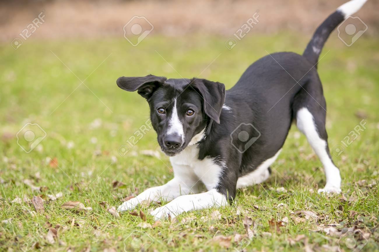 A playful black and white mixed breed dog, in a play bow position - 94029403