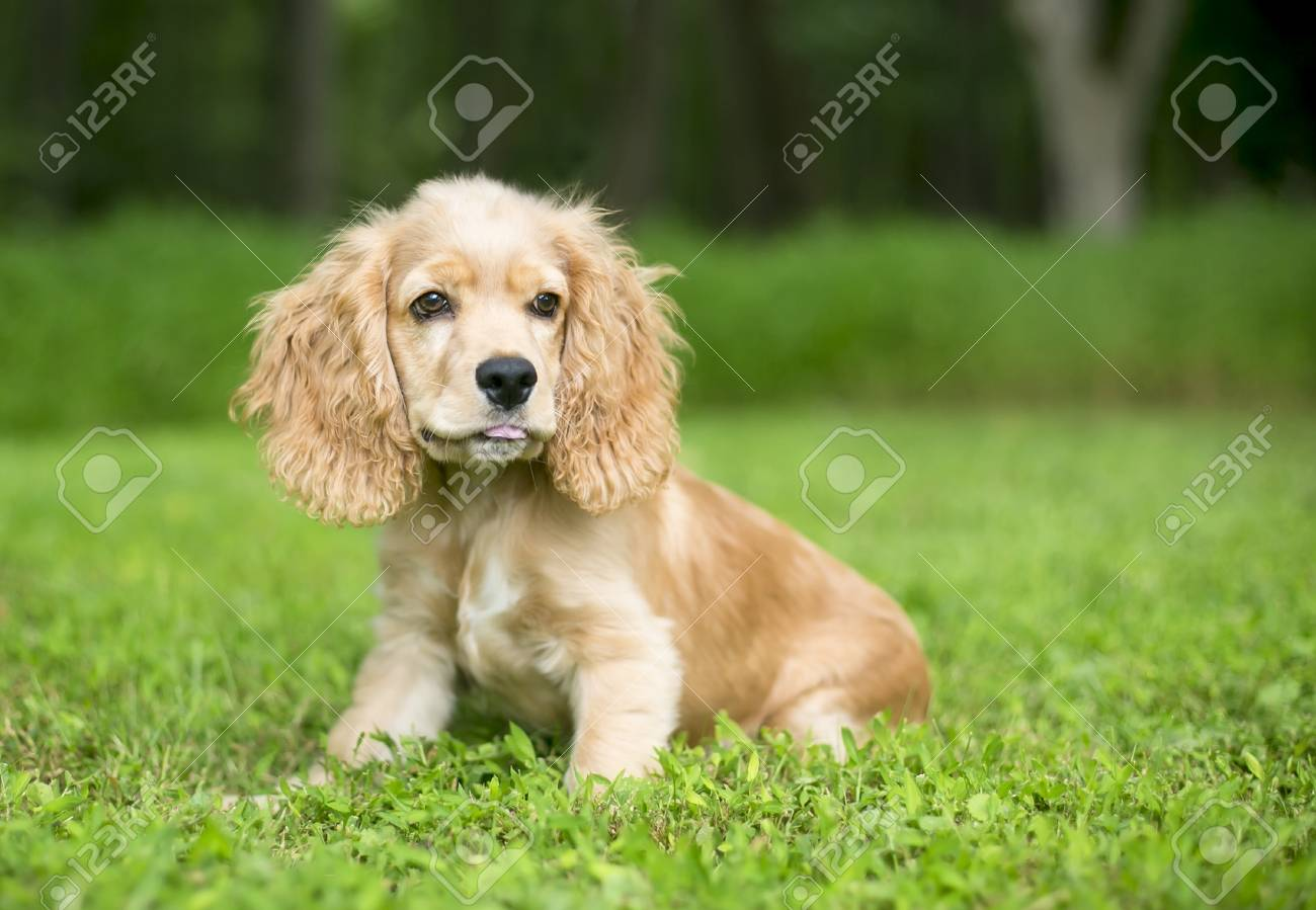 A Young English Cocker Spaniel Puppy In The Grass Stock Photo Picture And Royalty Free Image Image 94016988