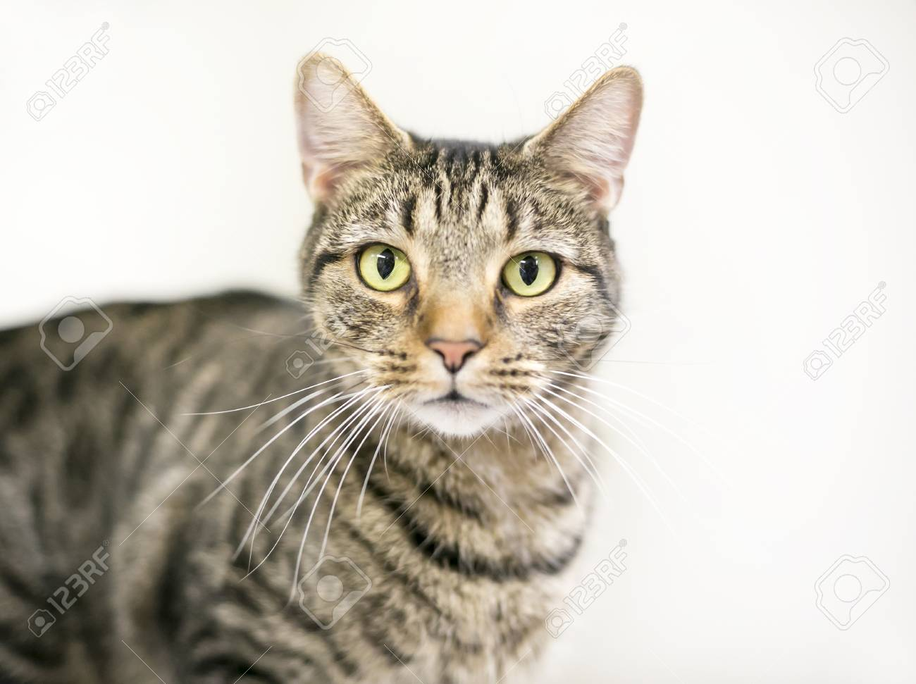 A Brown Tabby Domestic Shorthair Cat Stock Photo Picture And Royalty Free Image Image 93986664