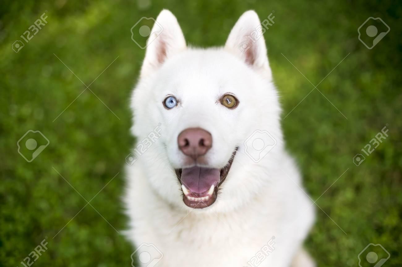 Close up of a white Husky dog with heterochromia, one blue eye