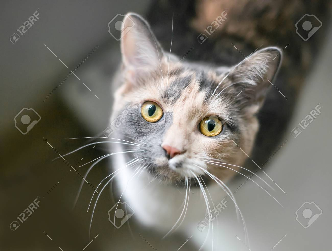 97911505-a-dilute-calico-domestic-shorthair-cat-with-yellow-eyes-looking-up-at-the-camera.jpg