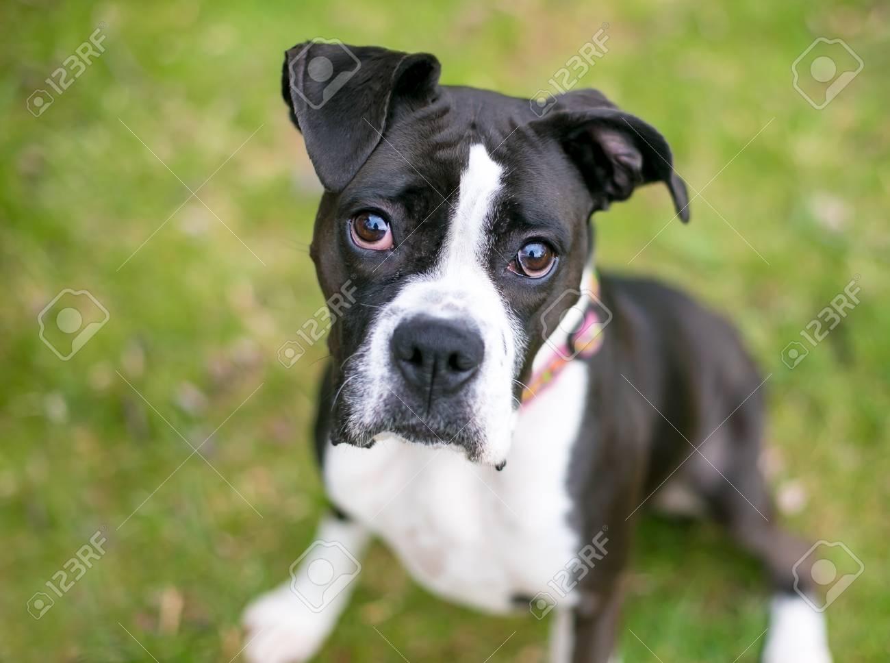A black and white boxer dog stock photo 98432613