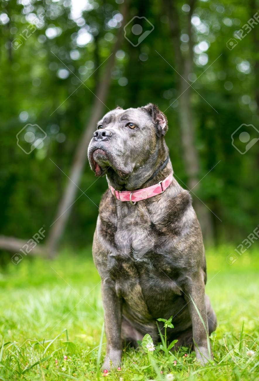 A Cane Corso Mixed Breed Dog With Cropped Ears Stock Photo Picture