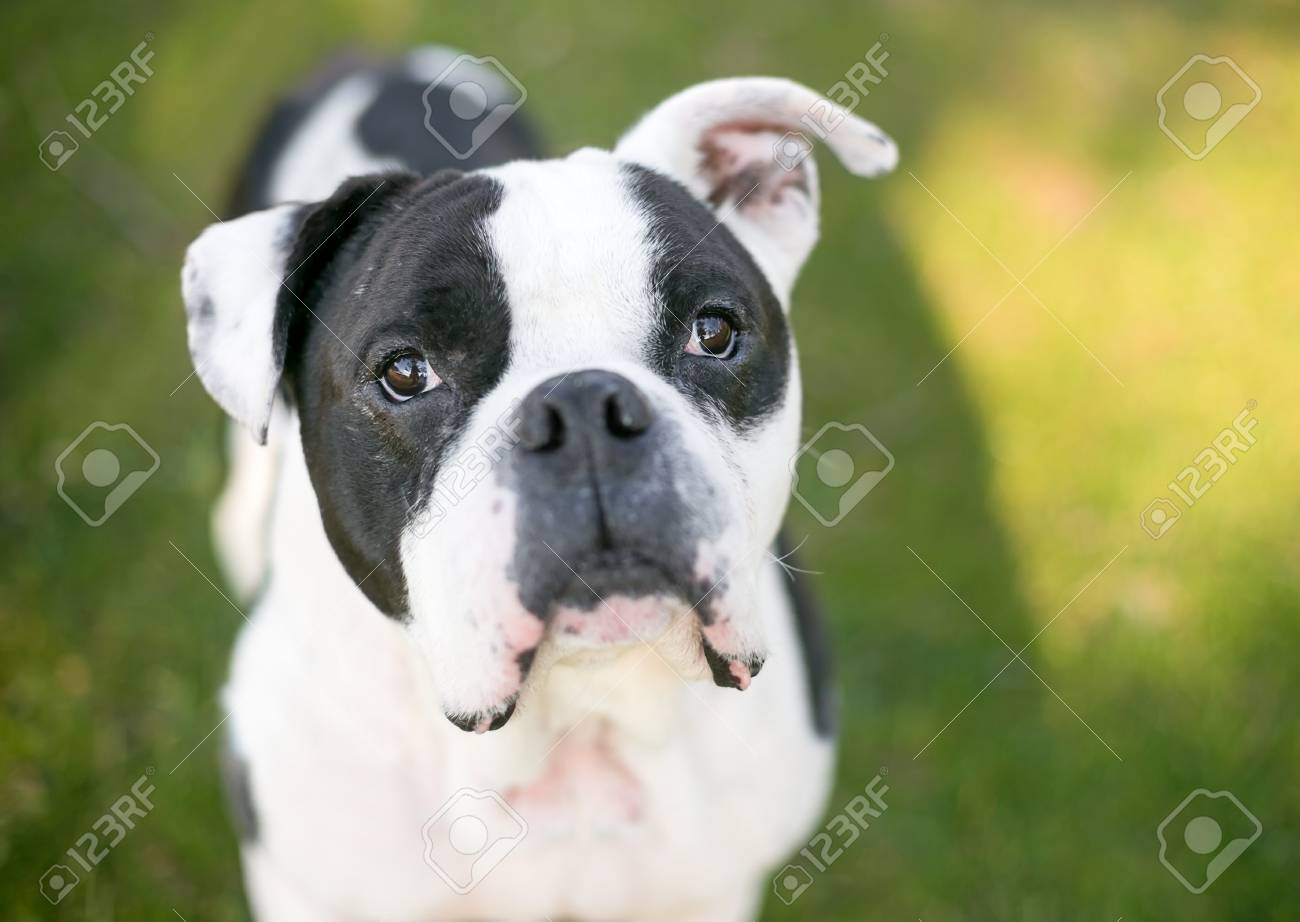A Black And White American Bulldog Mixed Breed Dog Looking Up Stock