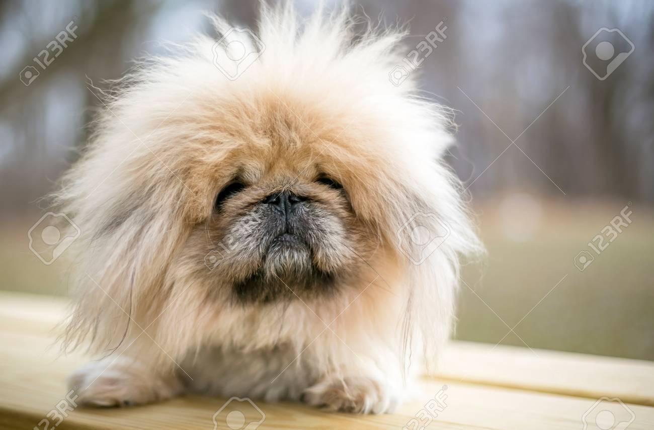 A fuzzy purebred Pekingese dog - 125359980