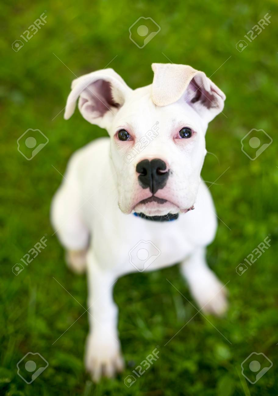 A White Great Dane Puppy With Large Floppy Ears Stock Photo Picture And Royalty Free Image Image 106022700
