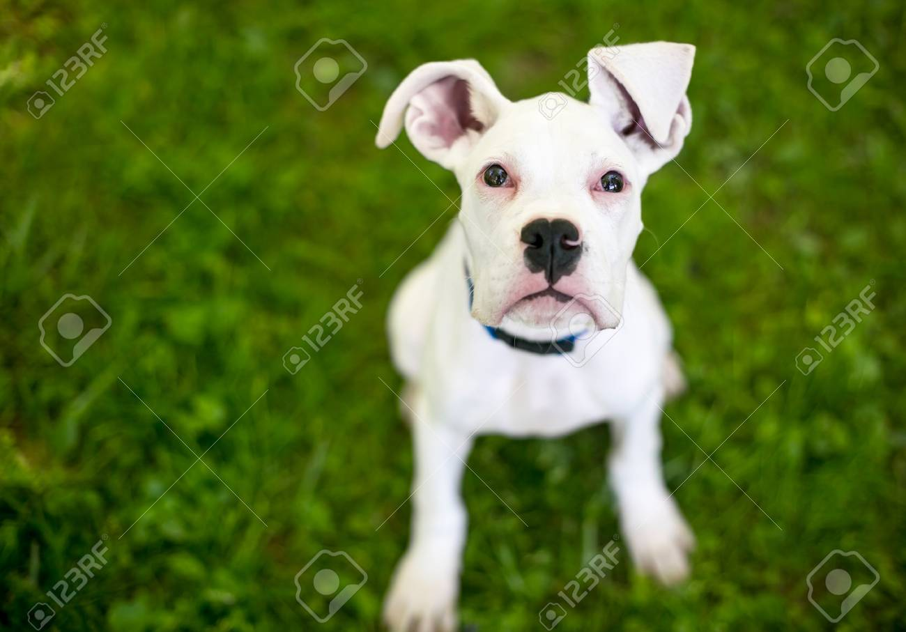 A White Great Dane Puppy With Large Floppy Ears Stock Photo Picture And Royalty Free Image Image 106022703