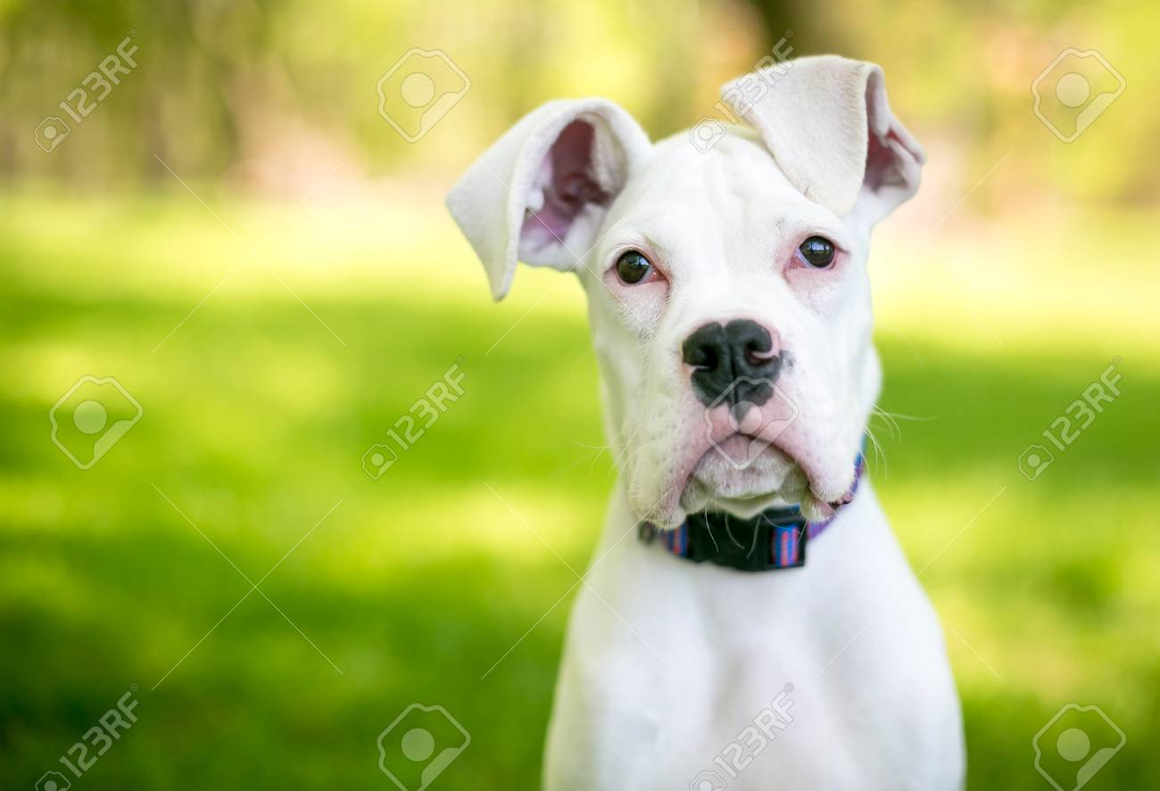 A White Great Dane Puppy With Large Floppy Ears Stock Photo Picture And Royalty Free Image Image 106022705