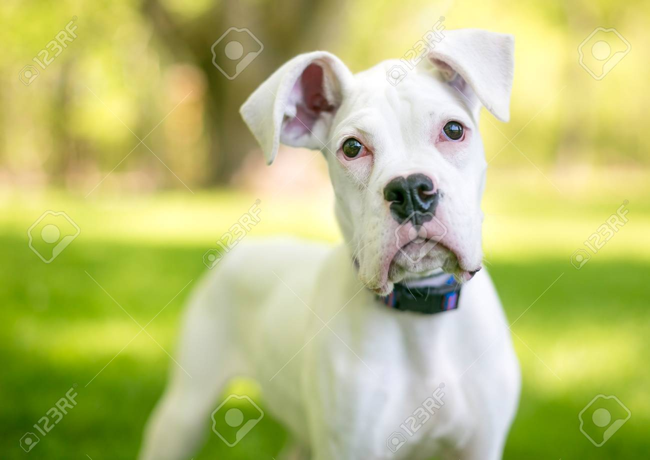 A White Great Dane Puppy With Large Floppy Ears Stock Photo Picture And Royalty Free Image Image 106022707