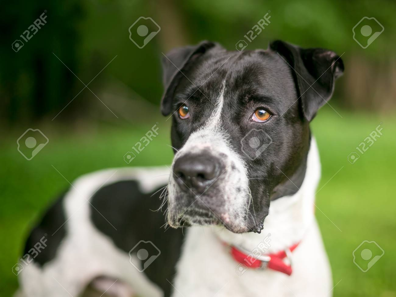 A Black And White American Bulldog Mixed Breed Dog Outdoors Stock