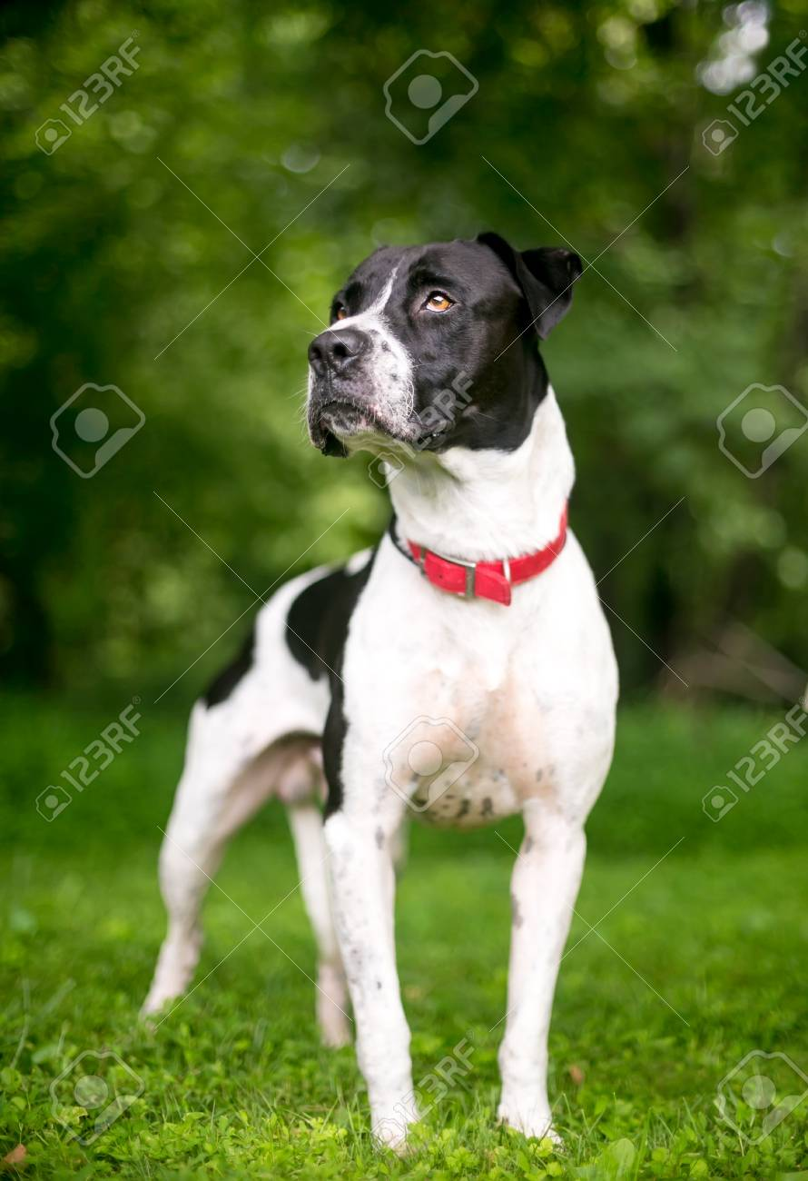 A Black And White American Bulldog Mixed Breed Dog Wearing A Stock