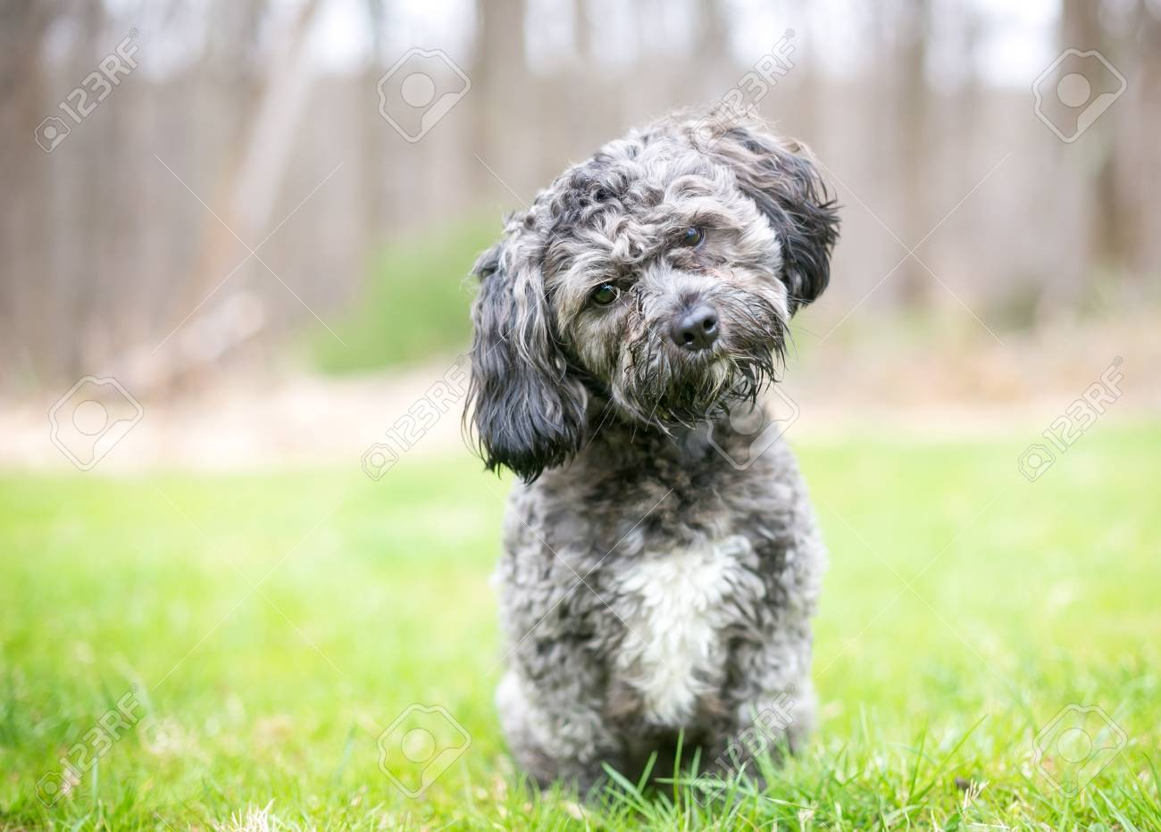 A Cute Gray And White Havanese Shih Tzu Mixed Breed Dog Listening Stock Photo Picture And Royalty Free Image Image 122101356