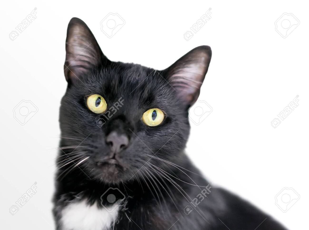 A Black And White Domestic Shorthair Tuxedo Cat With Yellow Eyes Stock Photo Picture And Royalty Free Image Image 138555033
