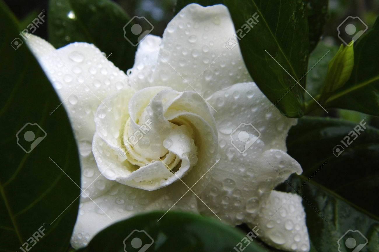 Cape jasmine or gardenia flower stock photo picture and royalty cape jasmine or gardenia flower stock photo 44177043 izmirmasajfo