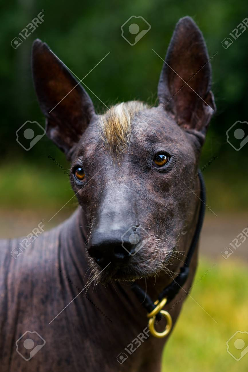 Close up portrait Mexican hairless dog (xoloitzcuintle, Xolo)