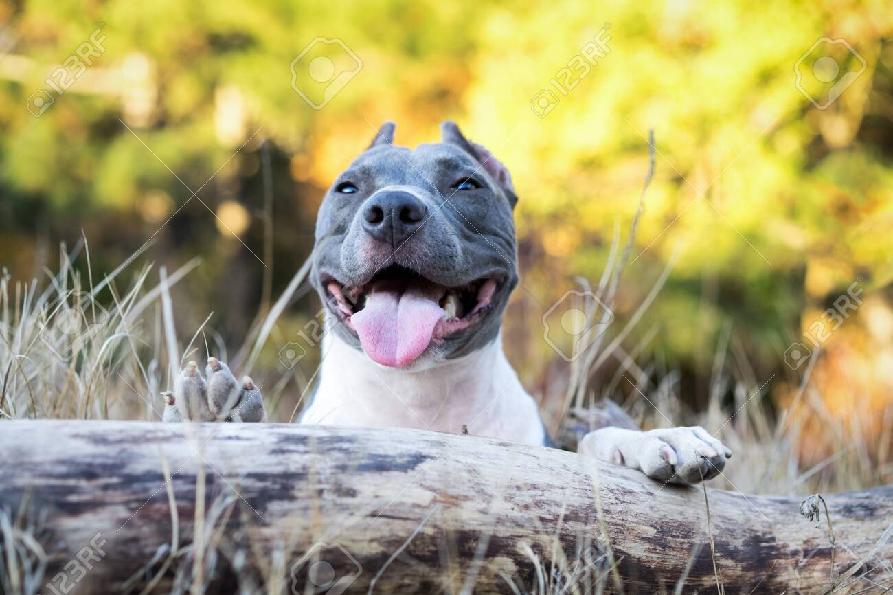 Portrait Beautiful Dog Blue American Staffordshire Terrier Pit