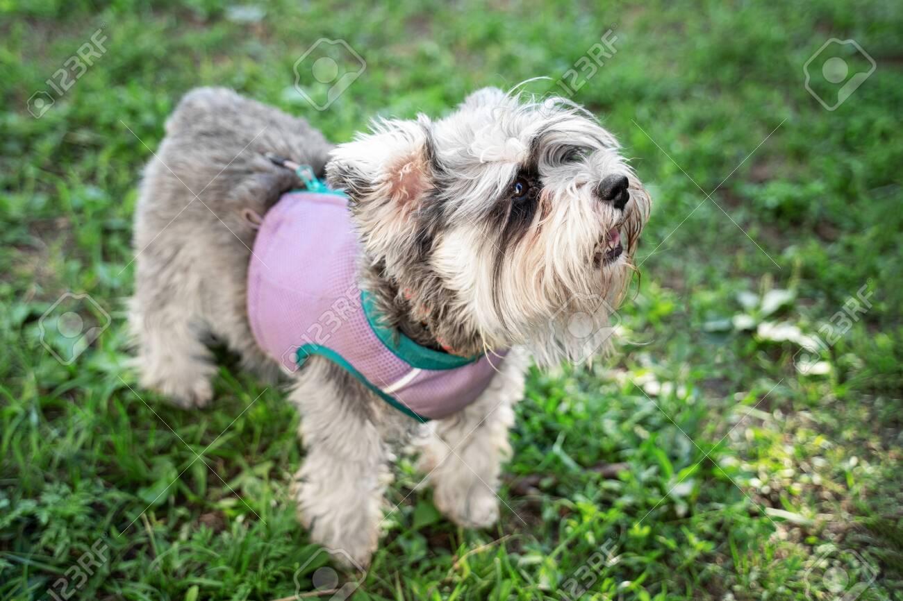 Portrait Of A Cute Dog Miniature Schnauzer Sits On The Grass In The Park Puppy Training And Obedience Fotos Retratos Imagenes Y Fotografia De Archivo Libres De Derecho Image 130844245