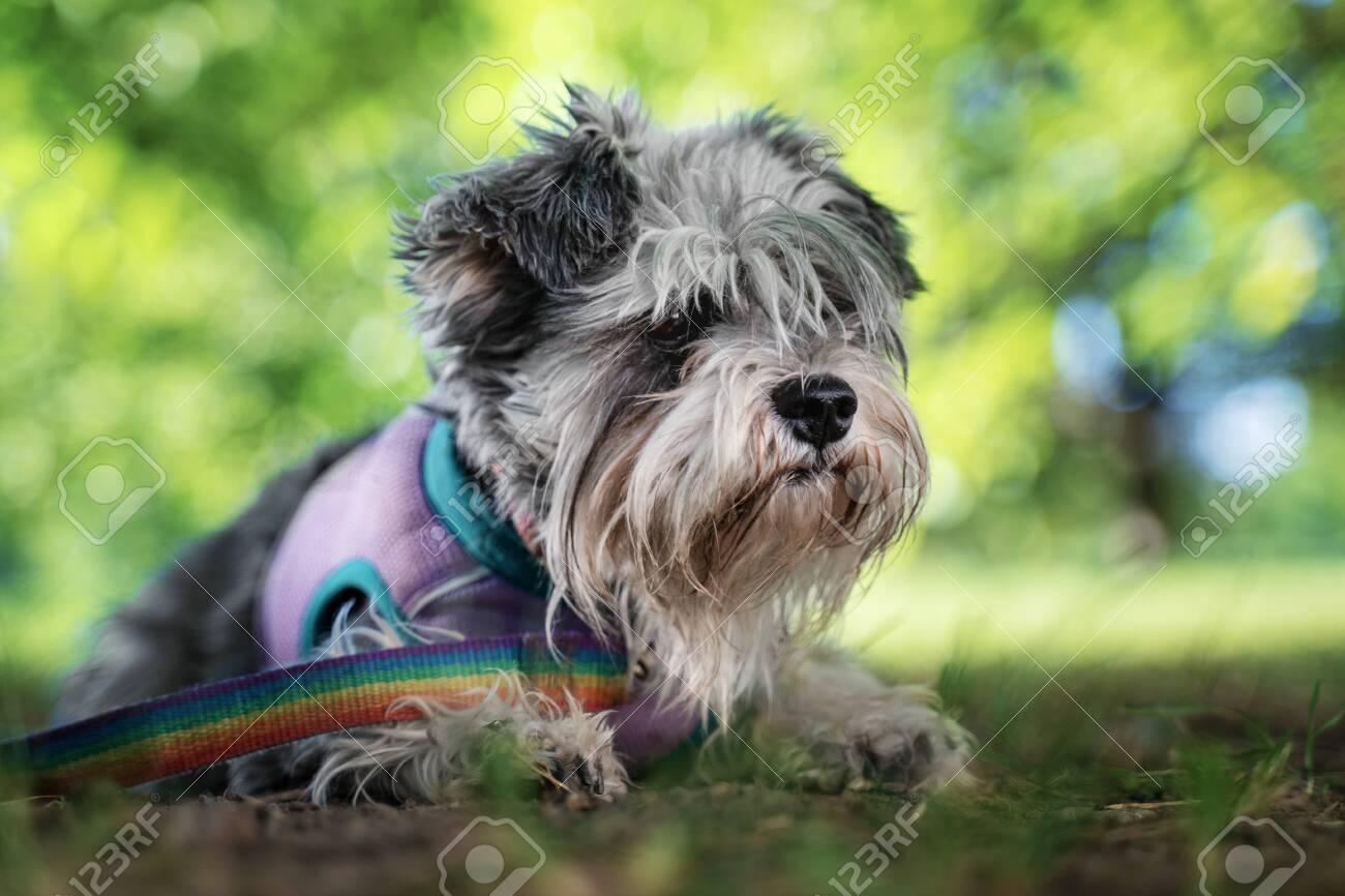 Portrait Of A Cute Dog Miniature Schnauzer Lies On The Grass In The Park Puppy Training And Obedience Fotos Retratos Imagenes Y Fotografia De Archivo Libres De Derecho Image 130844559