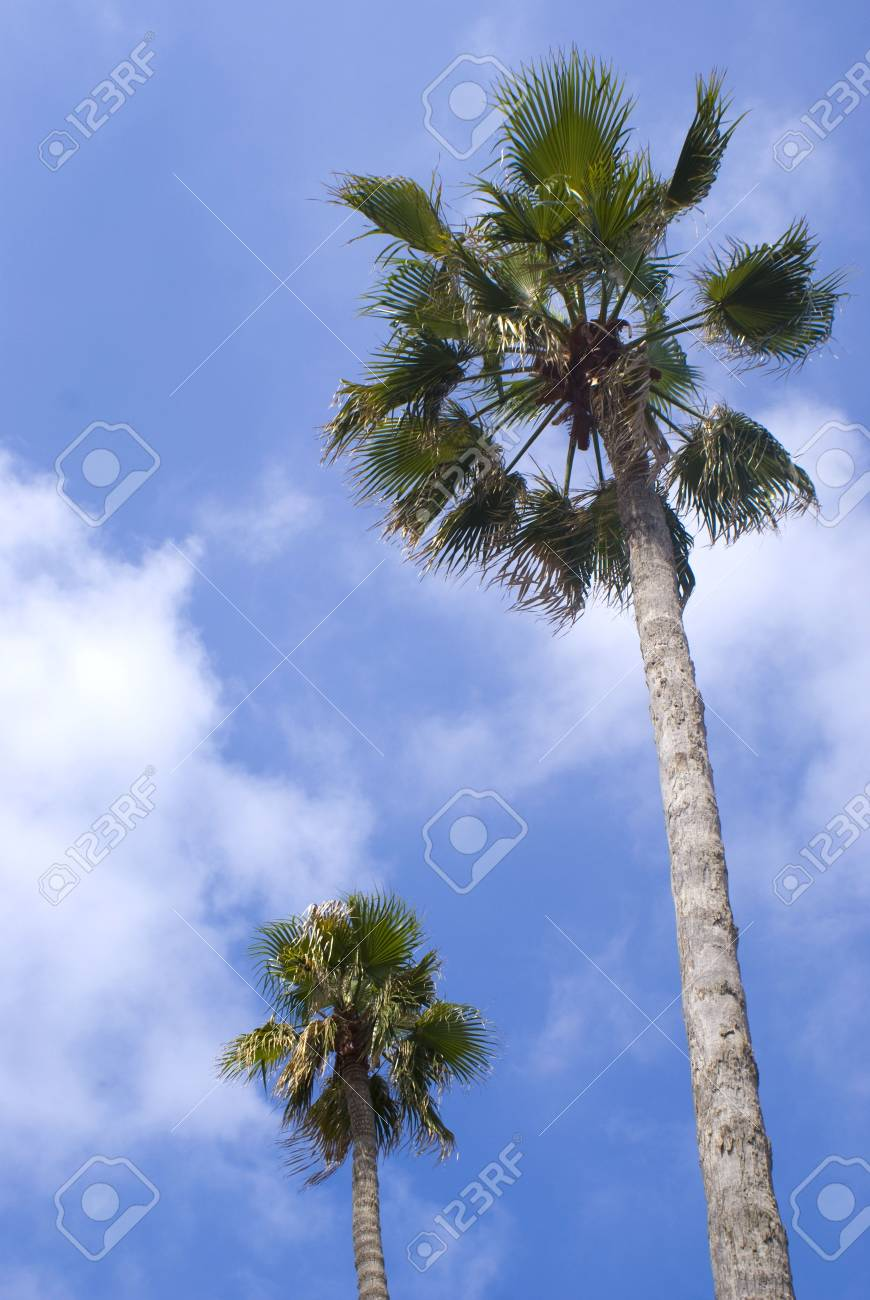 Two Tall palm treen with a clouded blue sky in the background Stock Photo - 6791617
