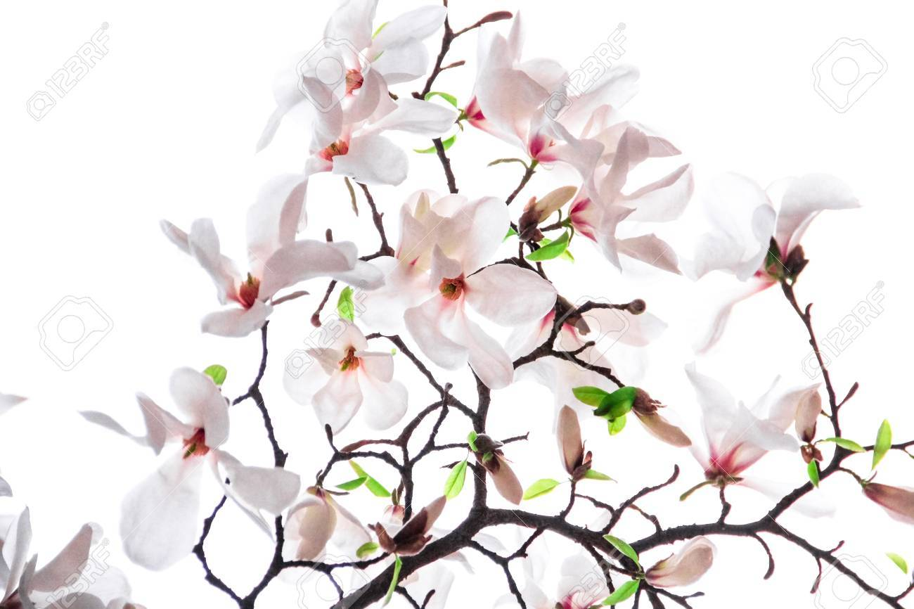 Bouquet Of Pink Magnolia Flower Stock Photo, Picture And Royalty ...