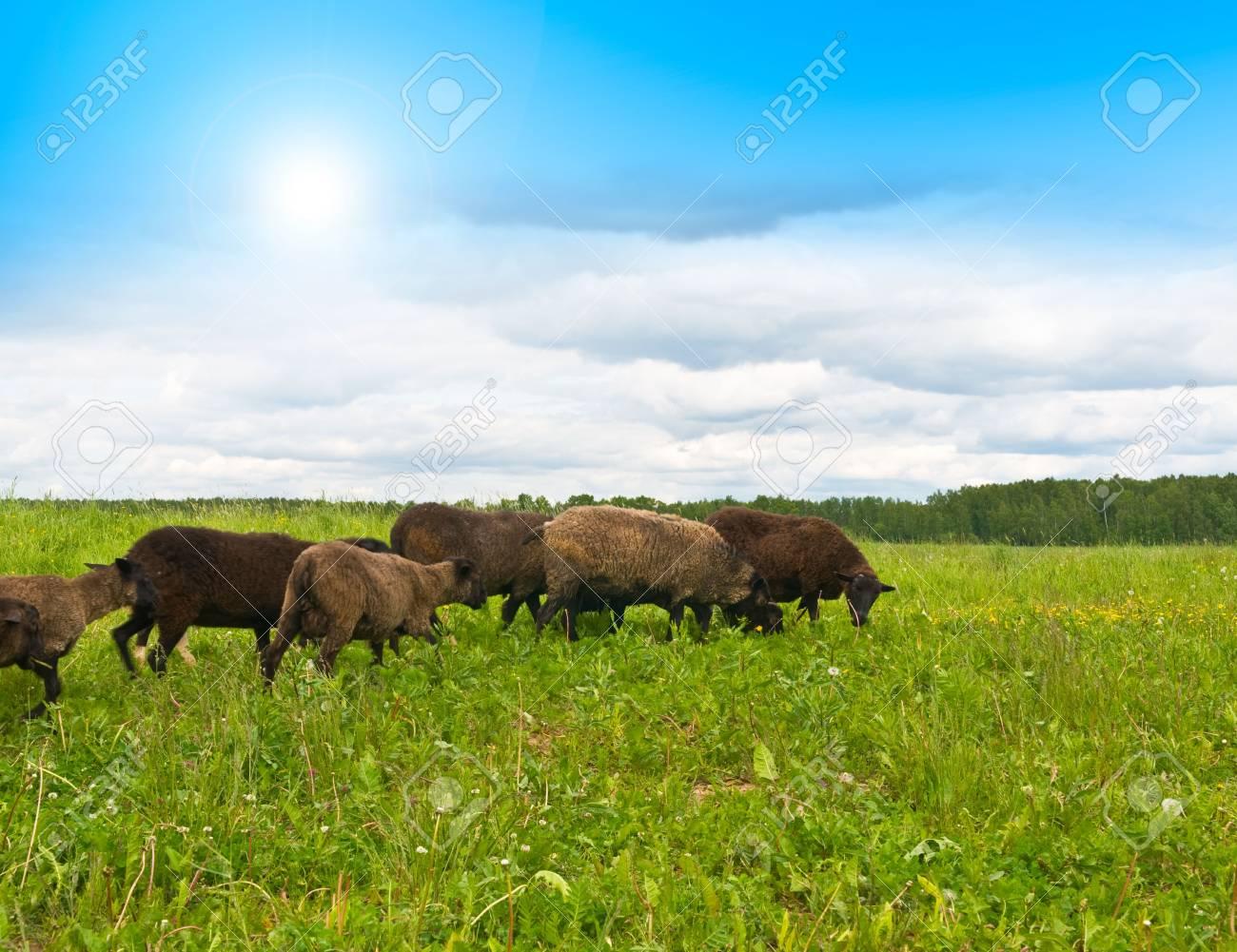 Sheep on the landscape taken Stock Photo - 5004052