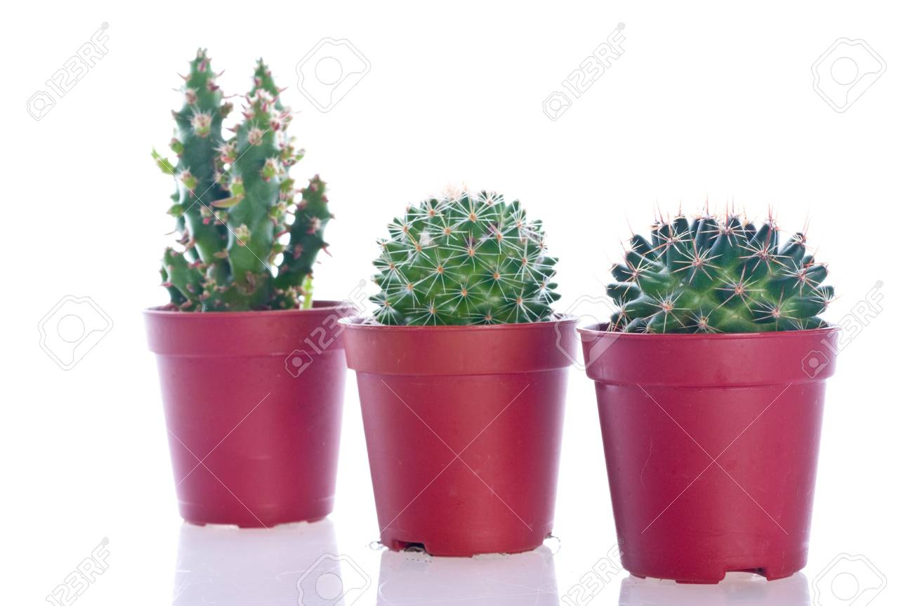 Cactus in a pot. Isolation on the white Stock Photo - 5004026