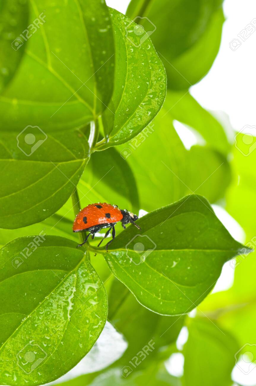 ladybird on green leaf and drop Stock Photo - 5004037