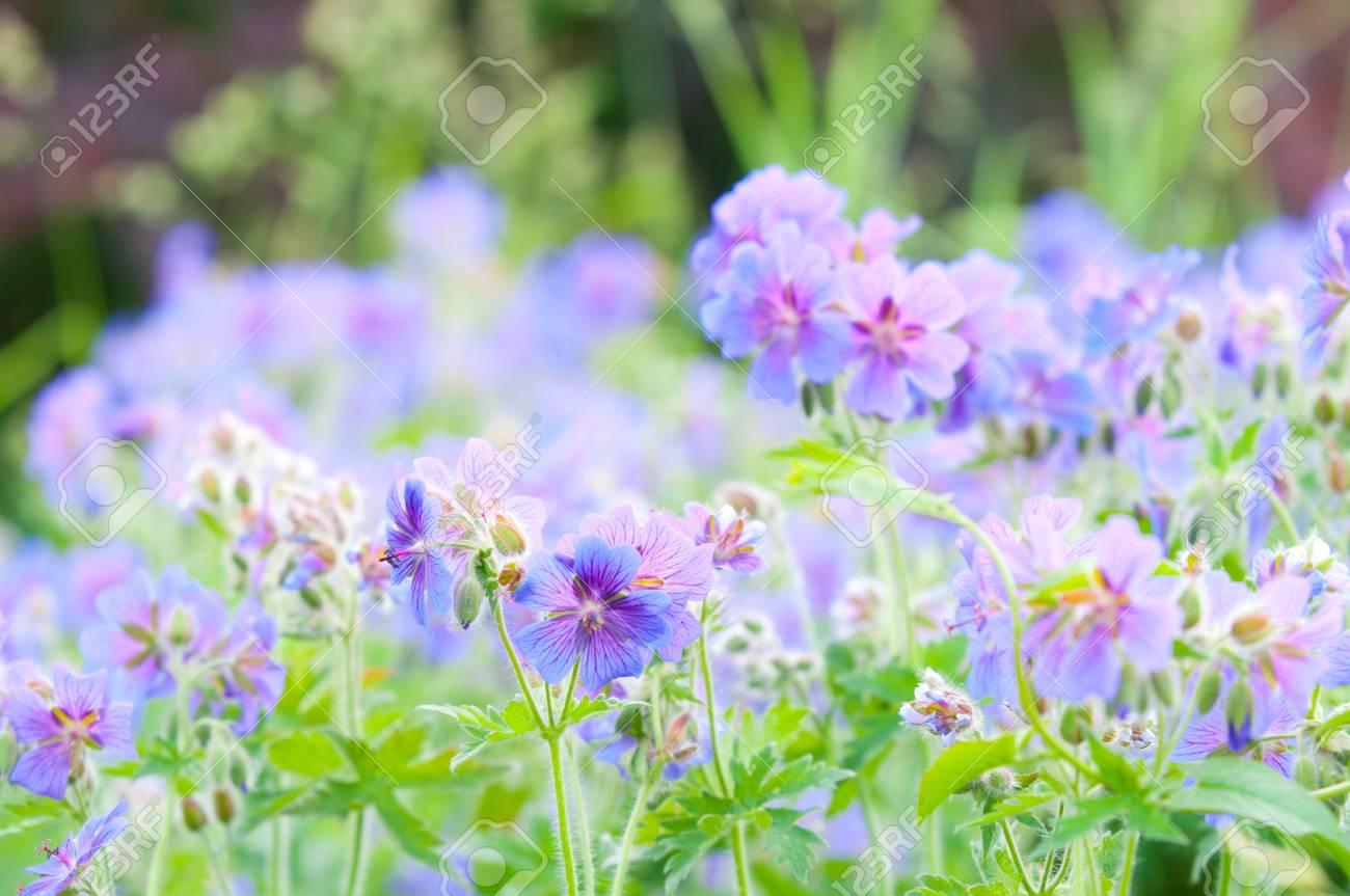 early summer flowering geranium/ macro Stock Photo - 7186374