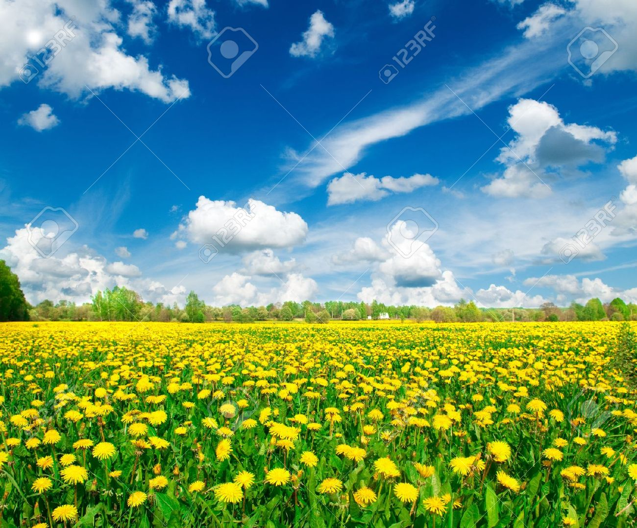 Meadow with yellow dandelions. - 7709787