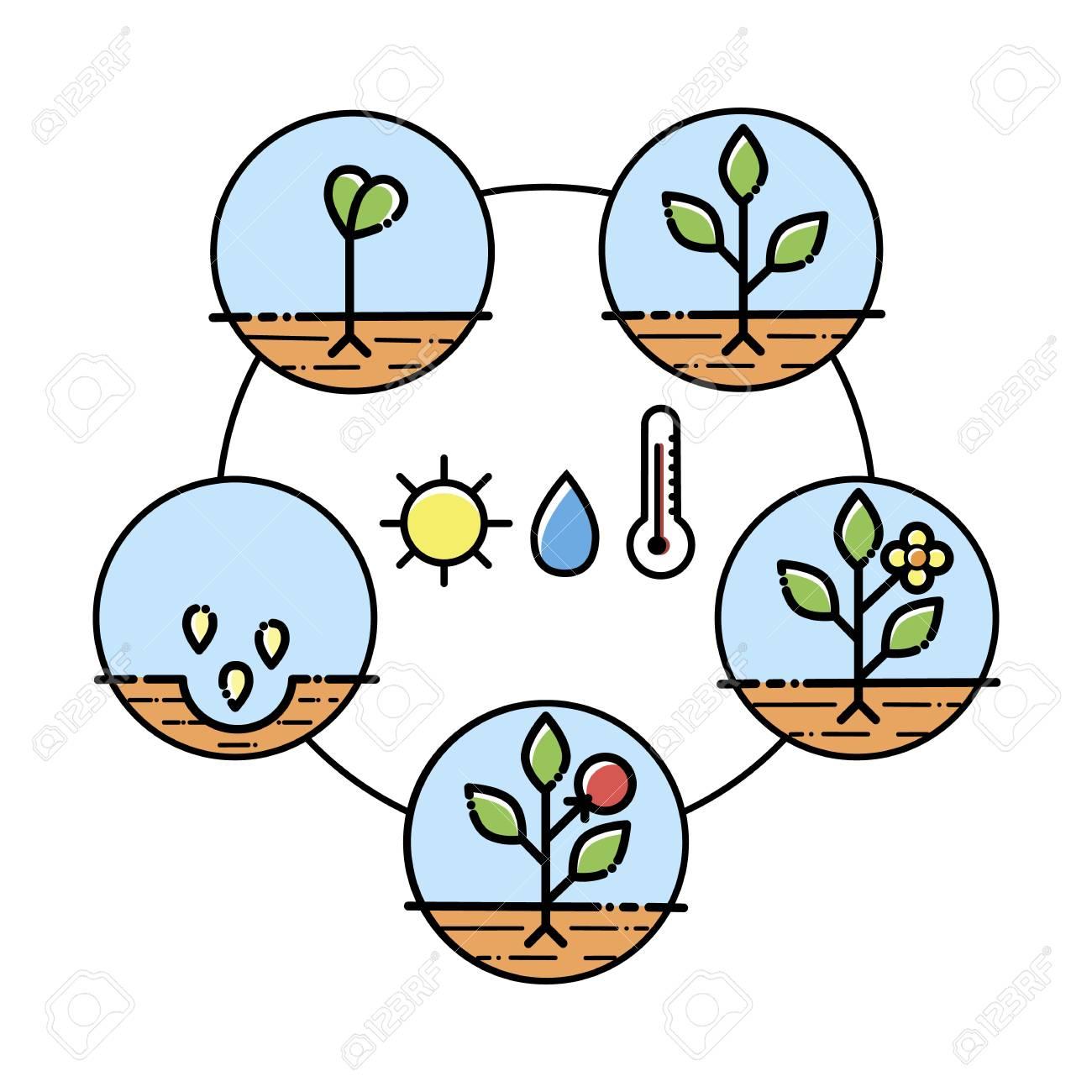 Planta Crecimiento Etapas Infografía. Iconos De Arte De Línea ...